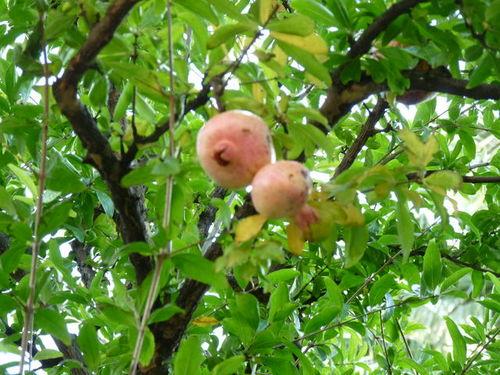 シーの果物 ザクロ 20091011_001.jpg