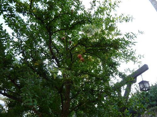 シーの果物 ザクロ 20091011_002.jpg