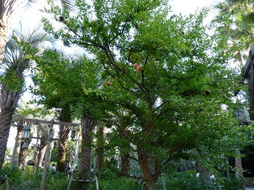 シーの果物 ザクロ 20091011_003.jpg
