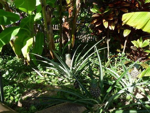シーの果物 パイナップル 20091011_001.jpg