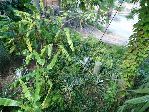 シーの果物 パイナップル 20091011_005.jpg