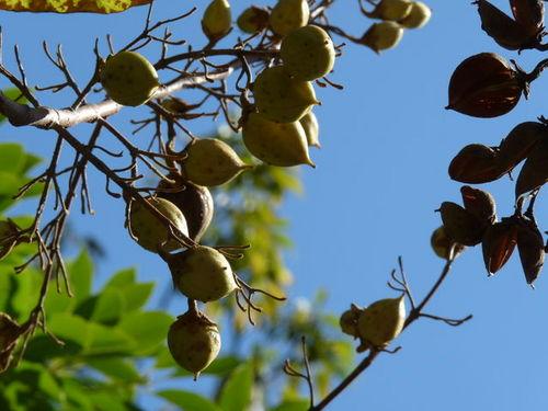 シーの果物_木の実 20091011_006.jpg