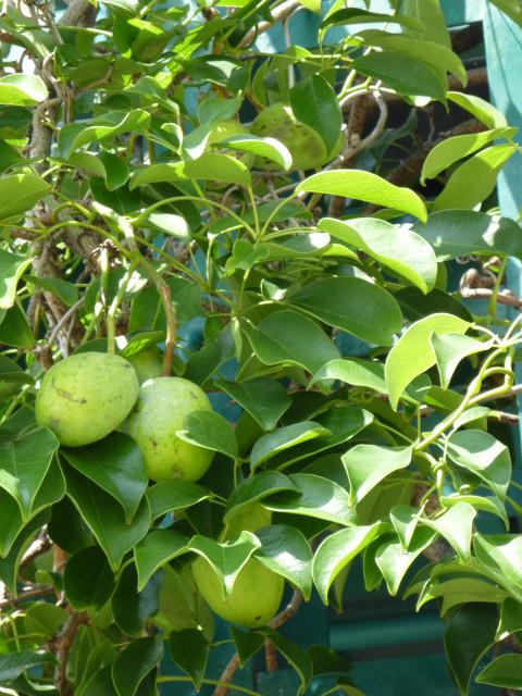 ハーバーサイドの木の実_20100822_02.jpg