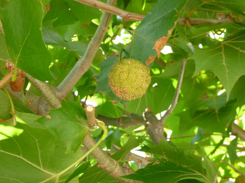 ハーバーサイドの木の実_20100822_03.jpg