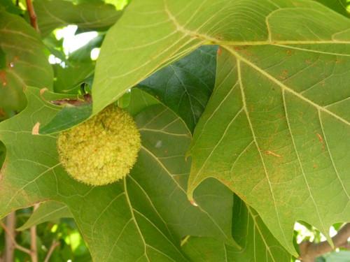 ハーバーサイドの木の実_20100822_04.jpg