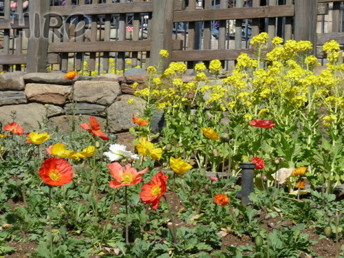 春の花_TDS_20110305_04.jpg