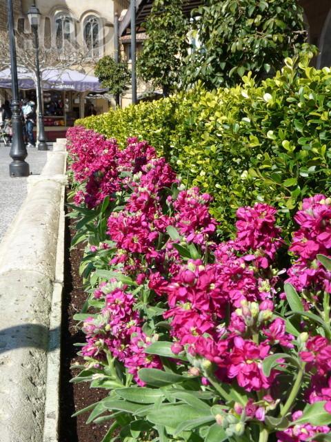 春の花_TDS_20110305_11.jpg