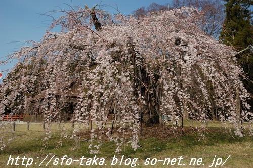 110403上賀茂神社御所桜.jpg