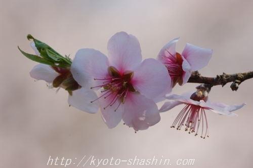 110406平野神社扁桃桜z.jpg