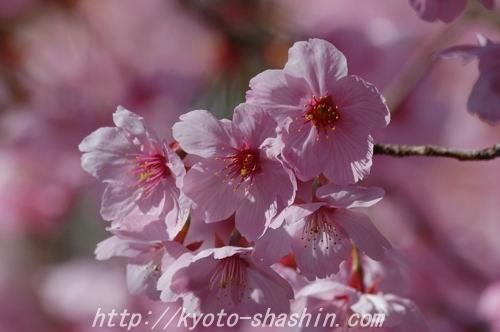 110406平野神社陽光z.jpg