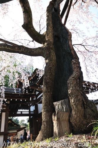 110406平野神社魁5ab.jpg