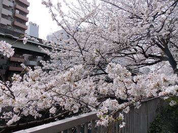 桜-12.jpg