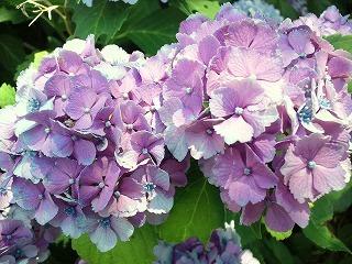 2011.7.5 アジサイ 004.jpg