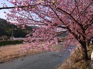2011,2,26 河津桜 040.jpg