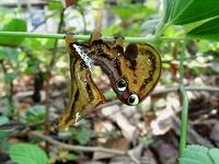 アケビコノハ幼虫2.JPG