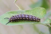 ホソオチョウ幼虫05.25.JPG