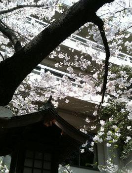 お花見 桜 2010