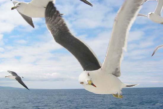 seagulls big size6.jpg