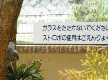 コアラ2.JPG