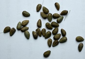 アーティチョーク種子.jpg