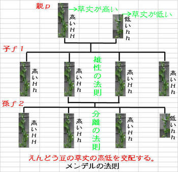 メンデルの法則1.jpg