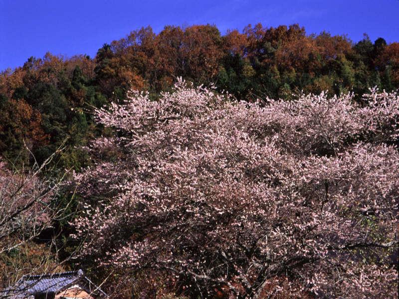 shikizakura-6.jpg