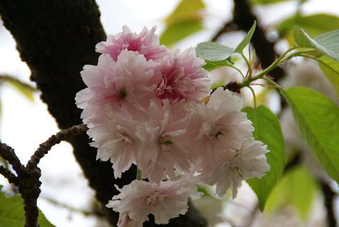 2010通り抜け(塩釜桜)1.jpg