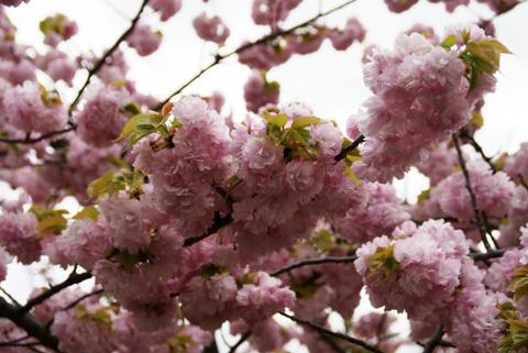 2010通り抜け(春日井)1.jpg