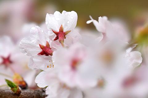 Sakura-20.jpg