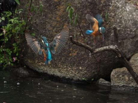 雌カワセミと若鳥1.jpg