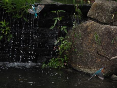 雌カワセミと若鳥3.jpg