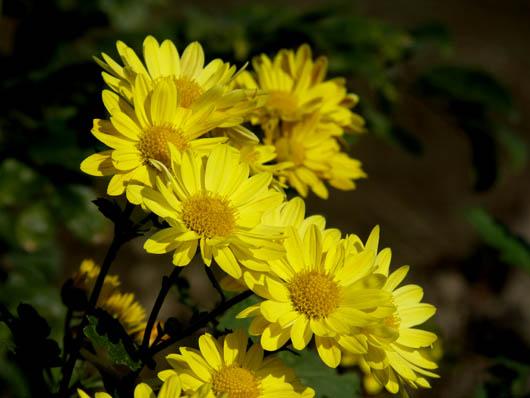 菊の画像 p1_11