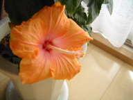 ハイビスカス 咲きました。