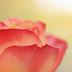 rose-kさんの画像