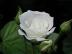 Roseさんの画像
