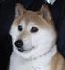柴犬陸さんの画像