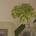 mimosao
